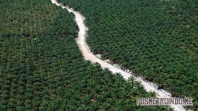 Ilustrasi minyak sawit.