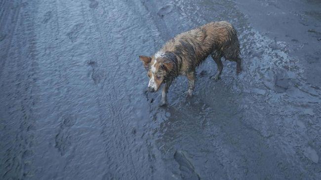 Turut Mengancam Hewan Ternak Karena Erupsi Gunung Taal